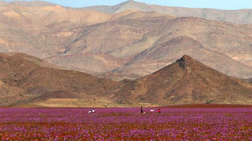 Chile-espectacular-florecimiento-en-desierto-de-atacama-EFE-635813925450678435w-portada