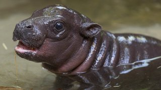 Endangered Pygmy Hippo Born at San Diego Zoo Last month, after days of anticipation, Mabel, a 4-year-old pygmy hippopotamus at the San Diego Zoo, gave birth to her first calf. The male pygmy hippo calf was born just before 9 a.m. on April 9, and weighed 12.4 pounds. This is the first successful pygmy hippo birth at the Zoo in more than 30 years. Wildlife care specialists report that the calf, which has not yet been named, is nursing and getting lots of attention from the first-time mother—and it is meeting or surpassing the milestones for a young pygmy hippo, including the ability to go underwater. When mom and her calf were given access to the outdoor maternity habitat, staff added a fence to prevent the calf from venturing into too-deep water. The calf demonstrated the natural adaptations and instincts of pygmy hippos—to close their nostrils and to hold their breath under water—and today, both Mabel and the calf, who weighs 25 pounds, have full access to the pool in the maternity yard. Pygmy hippos are one of hundreds of endangered species the staff at San Diego Zoo Global is working to protect from extinction, and in recognition of Endangered Species Day—May 15, 2020—the organization is celebrating its supporters who make this work possible. Every member, donor or volunteer—and anyone who has visited the San Diego Zoo or San Diego Zoo Safari Park—has contributed to San Diego Zoo Global's work to save species worldwide. To learn more about the conservation work that is made possible by this support, visit EndExtinction.org/CelebratingYou. This page also features links to engaging wildlife cams, activities for kids, free online educational courses and ways to participate in citizen science projects from any home computer or smartphone, to help researchers gather important information on threatened and endangered species.