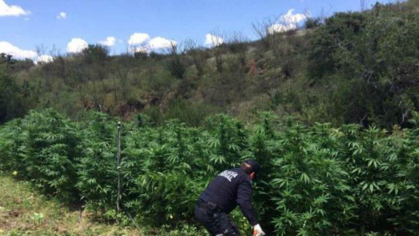 marihuana-plantios-chihuahua