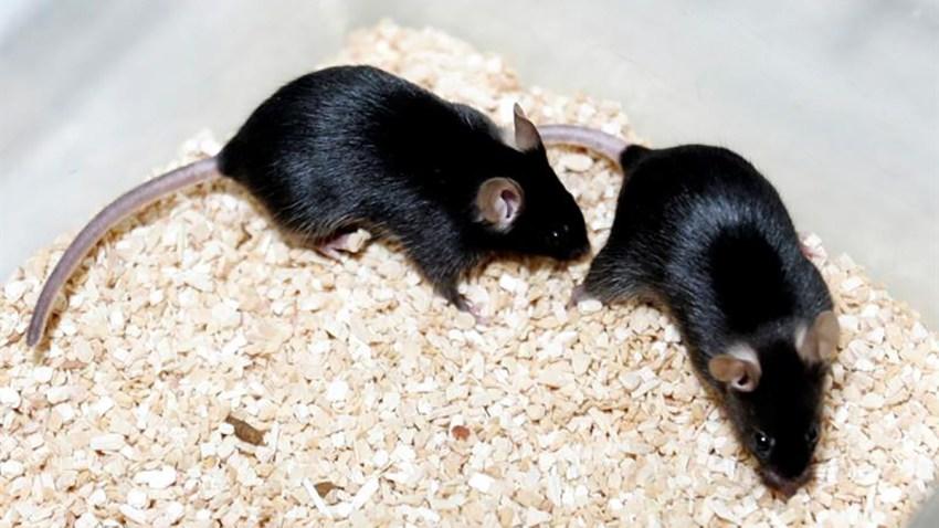 ratas-sindrome-envejecimiento-prematuro