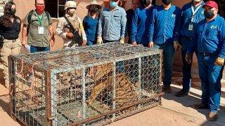Imagen de una tigresa de Bengala asegurada en México