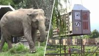 Una elefanta de 60 años de edad, y 5 toneladas de peso, que sufrió años de maltrato en un circo, ha sido trasladada a un santuario...