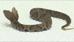 Doble peligro: exhiben rara serpiente con dos cabezas