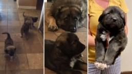 Entraron a su casa de Las Vegas y se robaron 8 cachorros