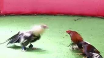 Congreso avanza ley para prohibir peleas de gallos