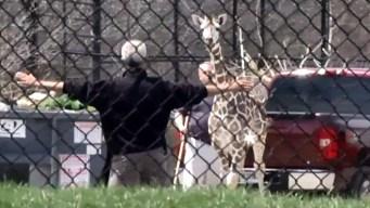Jirafa escapa de zoo y corretea por estacionamiento