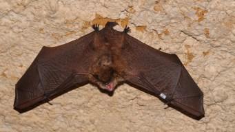 Autoridades advierten por murciélagos con rabia