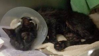 Kitten Doused in Motor Oil Recovering at Animal Hospital