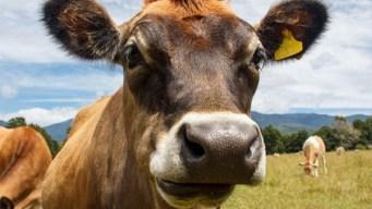 Reporte: adultos creen que leche de chocolate viene de vacas color café