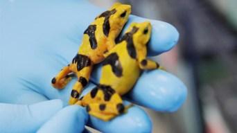 Congelan esperma de rana dorada para evitar extinción