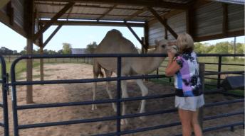 Recetan antibióticos a camello mordido en los testículos por una mujer