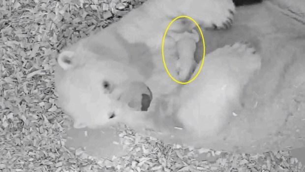 Osa polar pare a un adorable cachorro
