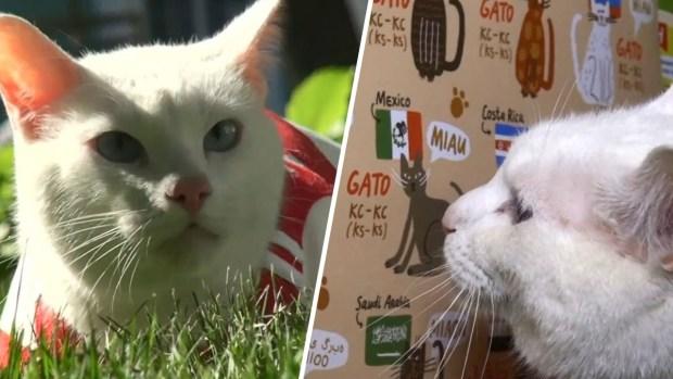"""""""Aquiles"""", el gato sordo que hará las predicciones del Mundial"""
