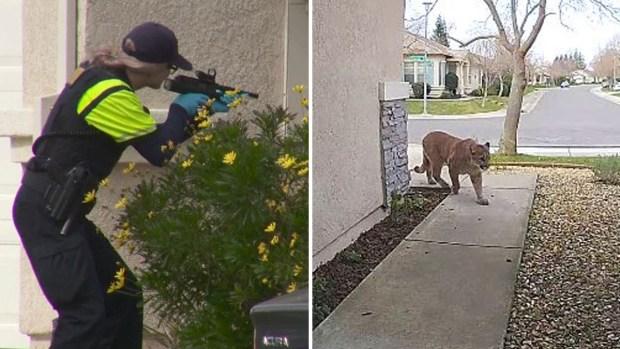 Neutralizan inmenso puma en un suburbio