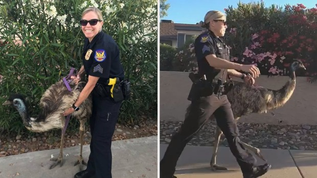 Viral: oficiales capturan a emú suelto en calles de Phoenix
