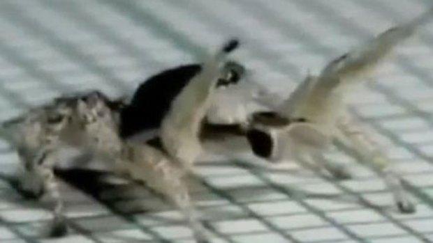 Video: La araña más salsera del mundo