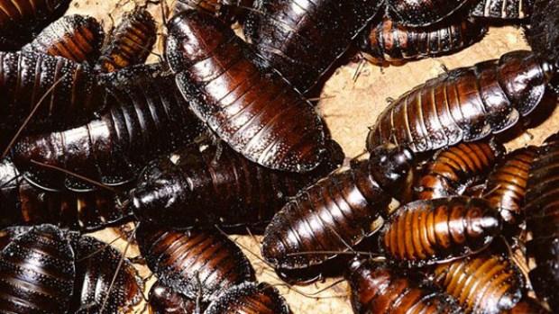 Video: ¡Ganan millones con las cucarachas!