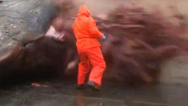 Video: Impacto: explota estómago de cachalote