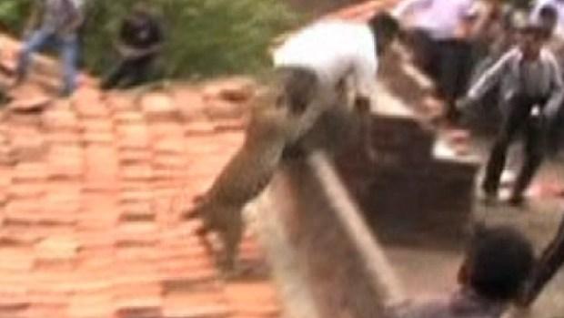 Video: Leopardo suelto siembra pánico y ataca