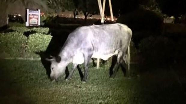Al acecho: vacas invaden todo un barrio