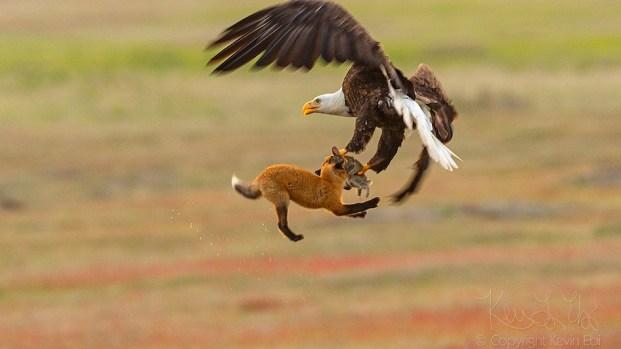 [TLMD - NATL] Dramática lucha: águila le roba presa a un zorro y pelean en el aire