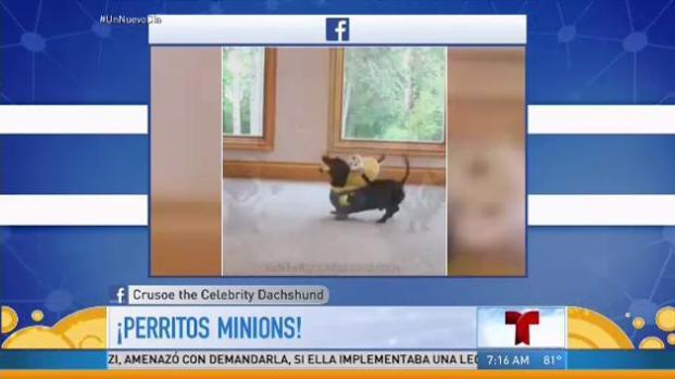 Una sensación dos perros salchicha vestidos de Minions