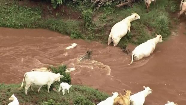 Vaquitas nadan por sus vidas en inclemente inundación