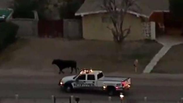 Toro causa persecución con la policía en Las Vegas