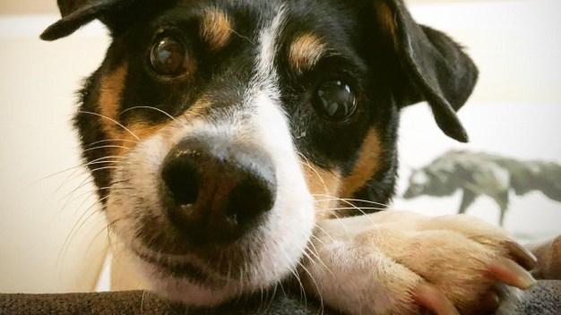 Candi evitó que más perros se acercaran cuando fue adoptada