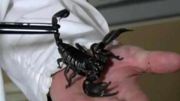 La temporada de escorpiones llega a Las Vegas