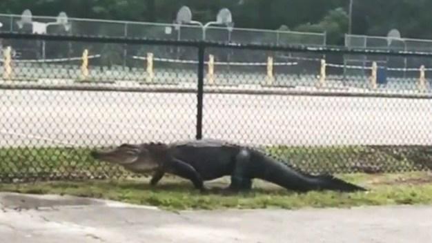 En video: gigantesco caimán acecha una escuela