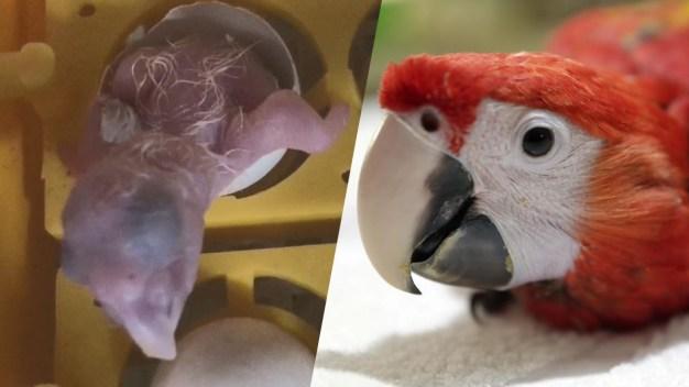 Guacamaya roja sorprende en zoológico de Nicaragua}