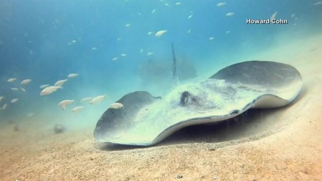 Captan en video mantarraya gigante