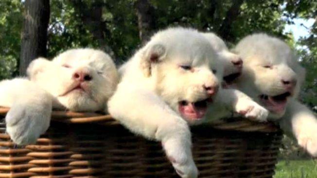 Leones albinos derrochan pereza en su debut