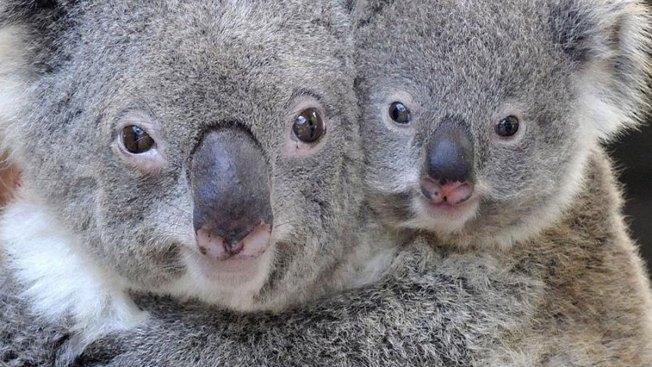 Australia: tuvimos que matar a 700 koalas