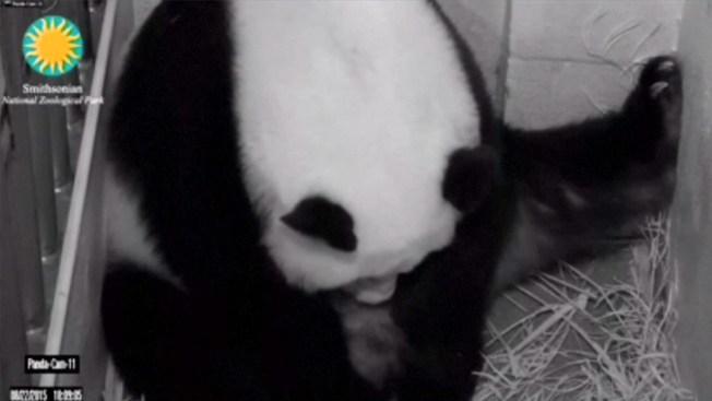 Nacen pandas mellizos con horas de diferencia