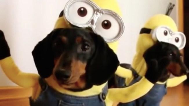 Causan sensación perros disfrazados de Minions