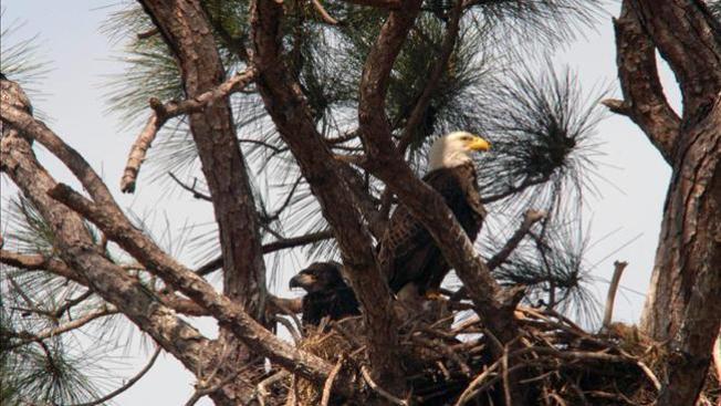 El romance de las águilas