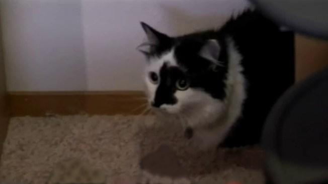 Buscan sicólogo para gato violento