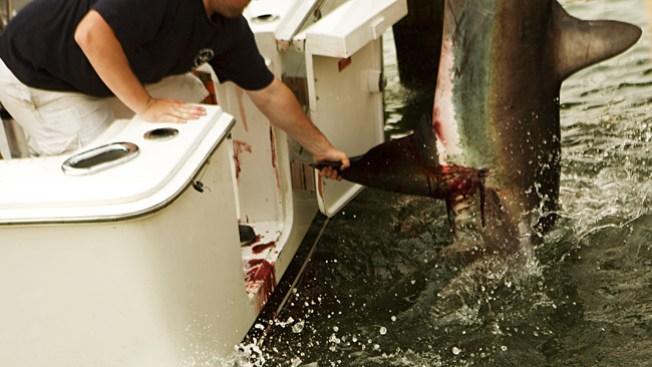 100 millones de tiburones mueren al año